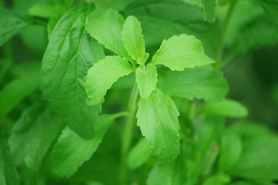 Hoja de la Stevia